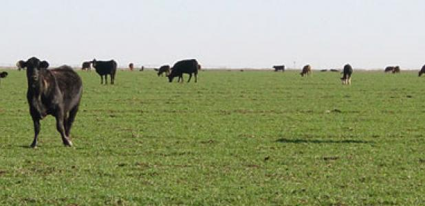 Rain in July makes things look more optimistic for wheat and stocker cattle operators, according to a Texas A&M AgriLife Extension Service economist.
